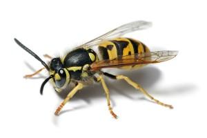 European_wasp_white_bg