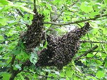 220px-Essaim_d'abeilles_posé