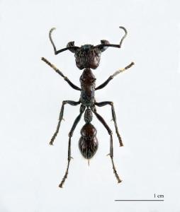Paraponera clavata MHNT