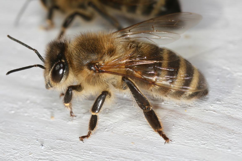 Apis_mellifera_carnica_worker_hive_entrance_2
