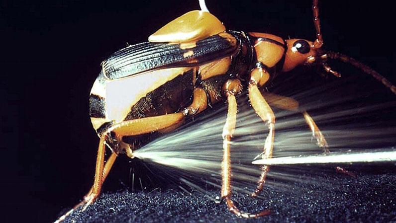 coleoptere_bombardier